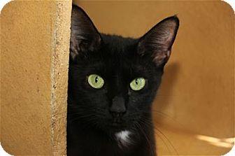 Domestic Shorthair Cat for adoption in Lincoln, California - Celene