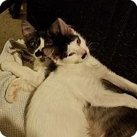 Adopt A Pet :: Gallagher - Dallas, TX