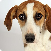 Adopt A Pet :: Phoenix Beagle Mix - St. Louis, MO