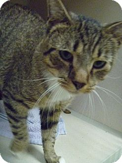 Domestic Shorthair Cat for adoption in Hamburg, New York - Lorenzo