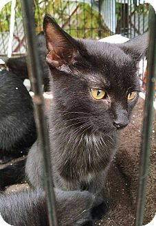 Bombay Kitten for adoption in Edgewater, New Jersey - Domino