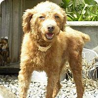 Poodle (Miniature) Dog for adoption in Seattle, Washington - Colin Yenchi
