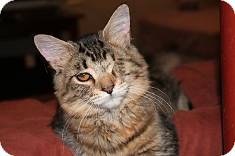 Domestic Mediumhair Cat for adoption in Ortonville, Michigan - Lefty