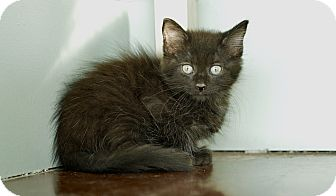 Domestic Mediumhair Kitten for adoption in San Antonio, Texas - Loui