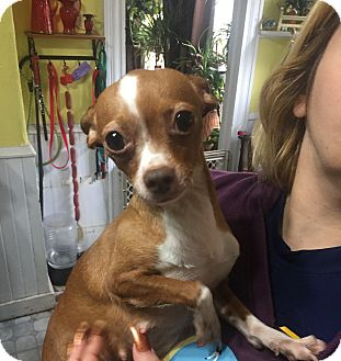 Chihuahua Dog for adoption in Vernon, Connecticut - Penny