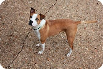 Pit Bull Terrier Mix Dog for adoption in Austin, Texas - Bentley