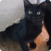 Domestic Shorthair Kitten for adoption in Morganton, North Carolina - Winnie
