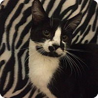 Domestic Shorthair Cat for adoption in Davison, Michigan - Cassidy