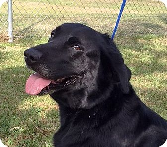 Labrador Retriever Mix Dog for adoption in Friendswood, Texas - Bosley