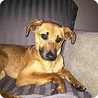 Adopt A Pet :: Simba - WESTMINSTER, MD