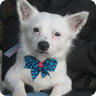 Chihuahua/Spitz (Unknown Type, Medium) Mix Dog for adoption in Garfield Heights, Ohio - Otis