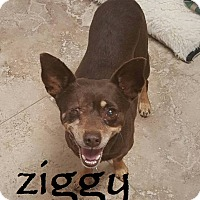 Adopt A Pet :: Ziggy - Scottsdale, AZ