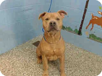 Pit Bull Terrier Dog for adoption in San Bernardino, California - URGENT NOW!  San Bernardino