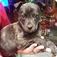 Adopt A Pet :: Blaze - Denver, CO
