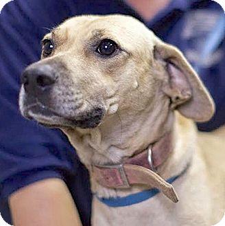 Labrador Retriever Mix Dog for adoption in Lakewood, Colorado - Tara