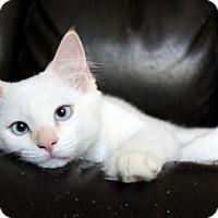 Adopt A Pet :: I'M KARMA, THE BLUE EYED FLAMEPOINT BEAUTY! - jacksonville, FL