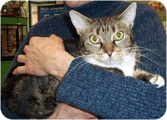 Domestic Shorthair Cat for adoption in St. Louis, Missouri - Abigail