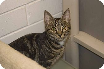 Domestic Shorthair Cat for adoption in New Port Richey, Florida - Emma