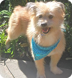 Cairn Terrier Mix Dog for adoption in Norwalk, Connecticut - Dawson