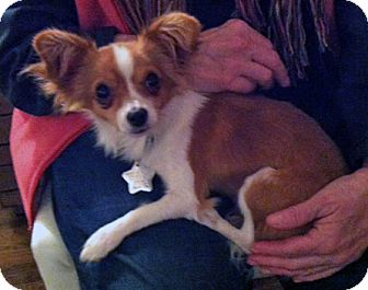 Papillon/Chihuahua Mix Dog for adoption in Studio City, California - Bobby