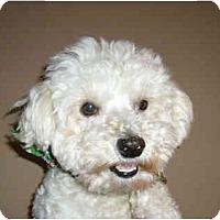 Adopt A Pet :: Scamp - La Costa, CA