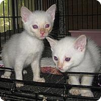 Adopt A Pet :: Carnelian - Dallas, TX