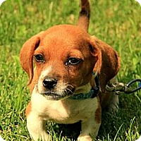 Adopt A Pet :: Noah - Staunton, VA