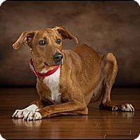 Adopt A Pet :: Brutus - Owensboro, KY