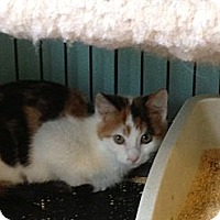 Adopt A Pet :: Chintzi - Richfield, OH