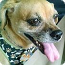 Adopt A Pet :: Bailey (female)