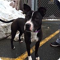 Adopt A Pet :: Jozie - Rockaway, NJ