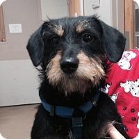 Adopt A Pet :: Lolly Pop - Allentown, PA