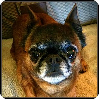 Brussels Griffon Dog for adoption in Lemont, Illinois - BRUE LYNN - ADOPTION PENDING