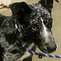 Australian Shepherd Mix Dog for adoption in Amarillo, Texas - Abigail