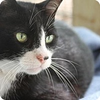 Adopt A Pet :: Tomcat - Odessa, FL