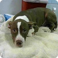 Adopt A Pet :: CLYDE - Atlanta, GA