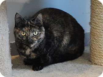Domestic Shorthair Cat for adoption in Lafayette, New Jersey - Gretel