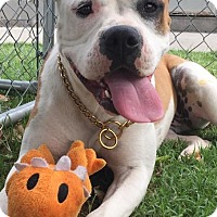Boxer/American Staffordshire Terrier Mix Dog for adoption in San Diego, California - Dixie