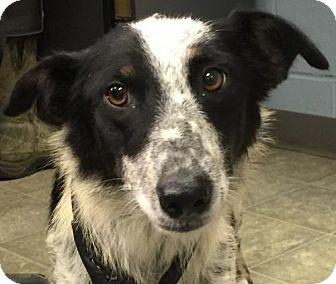 Australian Shepherd Dog for adoption in Rustburg, Virginia - Kelly: Fostered