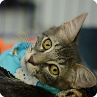 Adopt A Pet :: Preston - West Palm Beach, FL