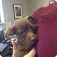 Dachshund/Chihuahua Mix Puppy for adoption in PHOENIX, Arizona - Atticus