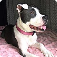 Adopt A Pet :: Flossie - Bernardston, MA