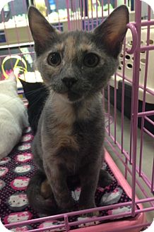Domestic Shorthair Kitten for adoption in Fort Worth, Texas - Deseree