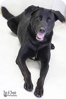 Labrador Retriever Mix Dog for adoption in Yukon, Oklahoma - Mallard