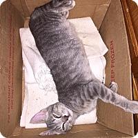 Domestic Mediumhair Kitten for adoption in Chesapeake, Virginia - China