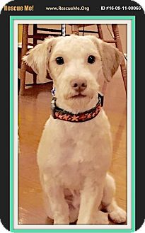 Miniature Poodle Dog for adoption in West Los Angeles, California - Jasper