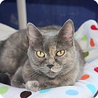 Domestic Shorthair Cat for adoption in Mission, Kansas - Zoebelle