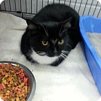 Domestic Shorthair Cat for adoption in Paducah, Kentucky - Boots