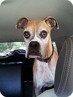 Boxer Dog for adoption in Austin, Texas - Mr Bruiser