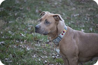 American Pit Bull Terrier Mix Dog for adoption in Des Peres, Missouri - Harlow
